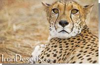 یوزپلنگ ایرانی در خارتوران
