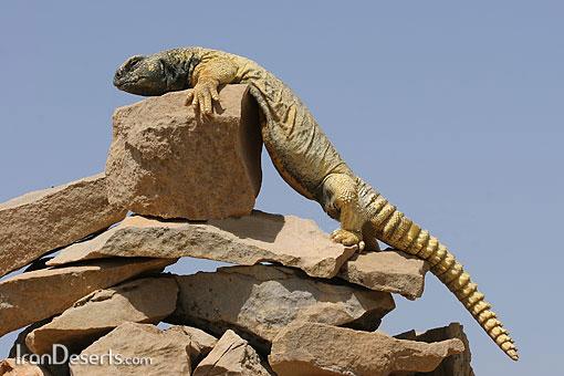 http://www.irandeserts.com/pics-7/uromastyx-aegyptius-big.jpg