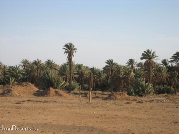 نخلستانهای مصر