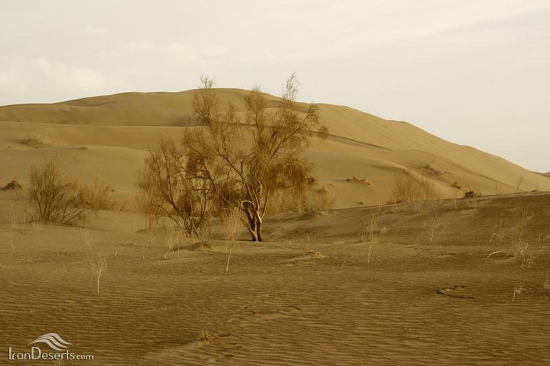 کویر خارا (کویر ورزنه)، درختچه تاغ