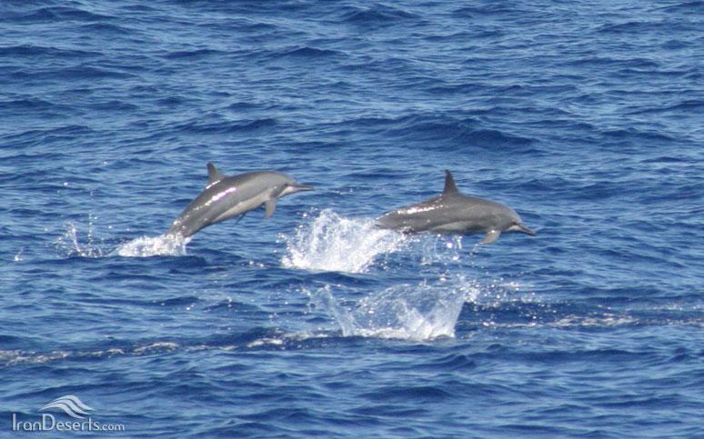 دلفین فرفره