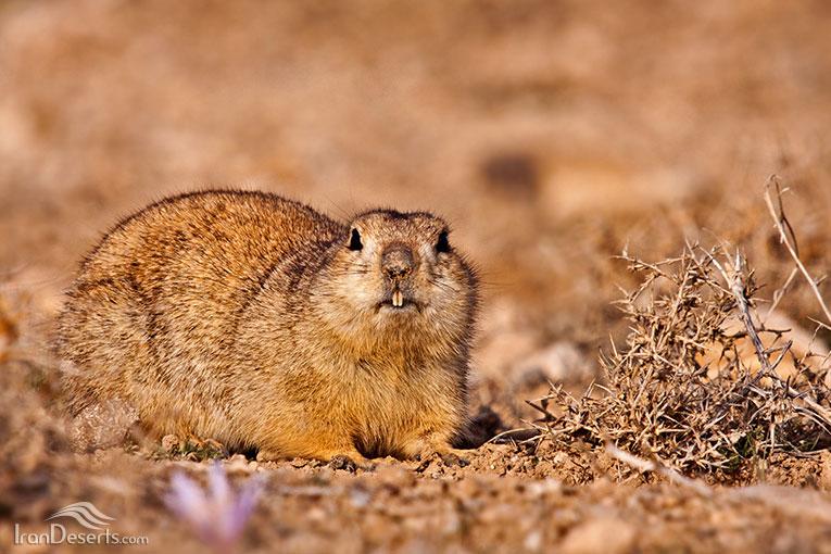 سنجاب زمینی، عکس از امیر غفاری