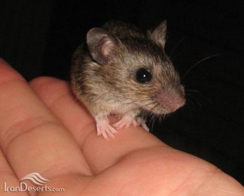 موش صحرایی آرال