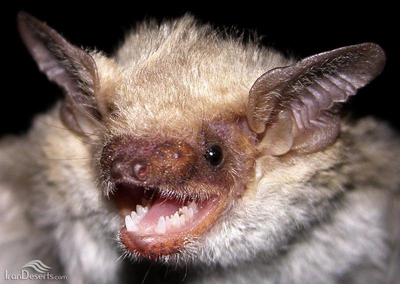 خفاش زرد (خفاش بتا)