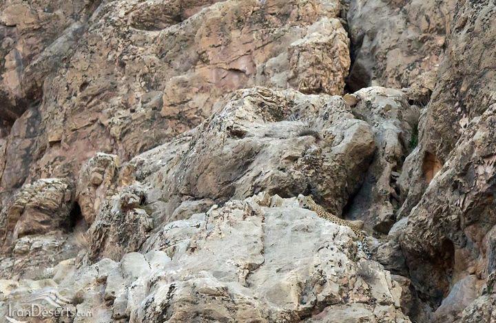 پلنگ ایرانی، عکس از بهزاد فراهانچی