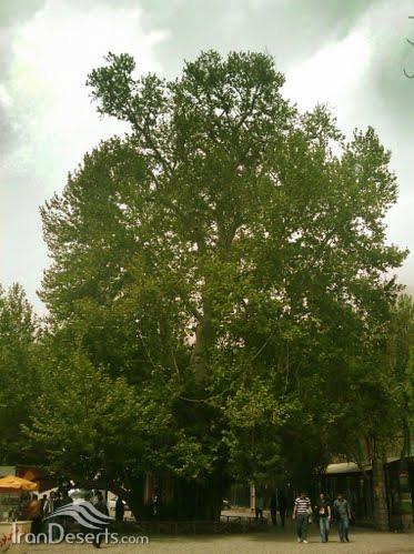 درخت رحمت، کرمانشاه
