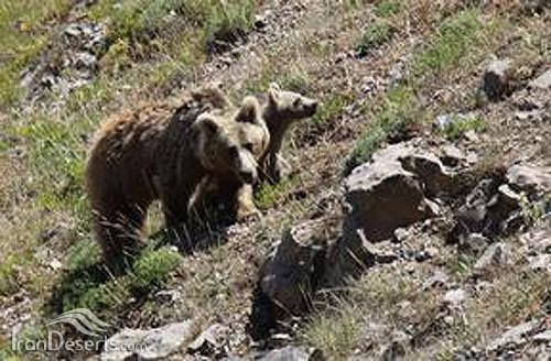 خرس قهوه ای، البرز مرکزی