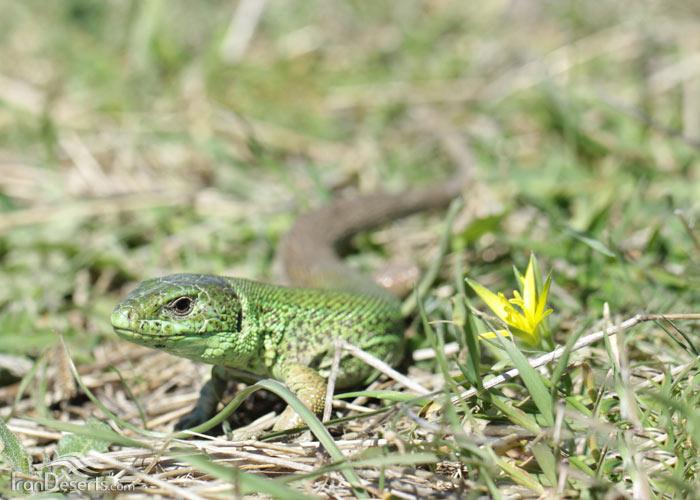 سوسمار سبز خزری، تصاویر از باربد صفایی