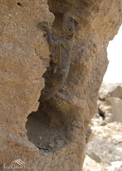 آگامای صخره ای سیاه