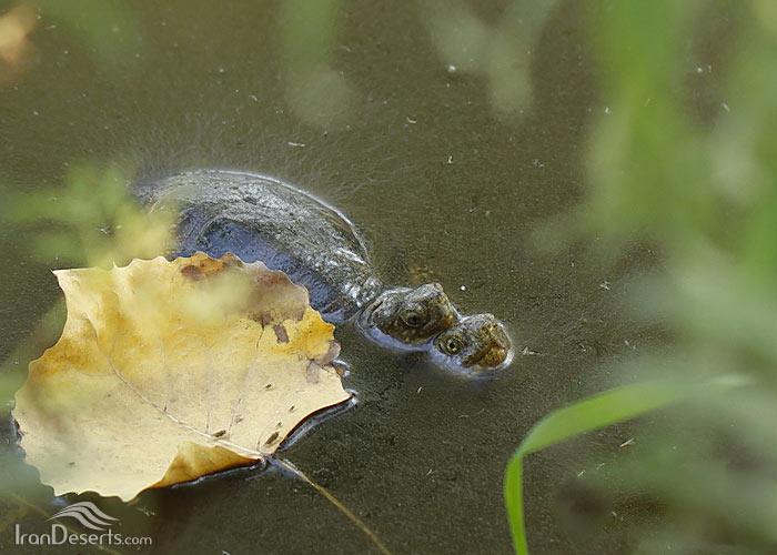 لاکپشت برکه ای اروپایی، تصاویر از باربد صفایی