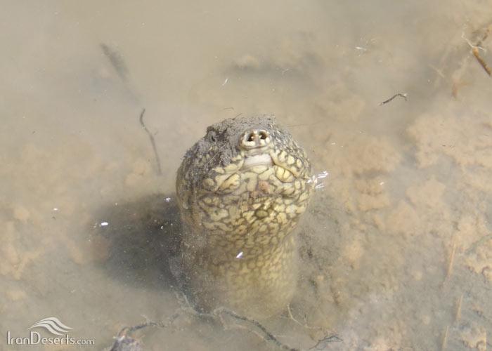 لاکپشت فراتی