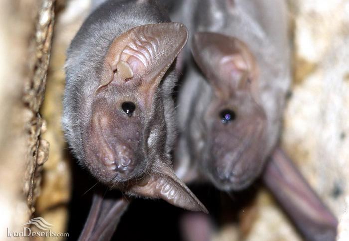 خفاش مقبره ای شکم برهنه