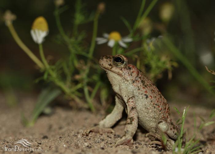 وزغ لرستانی، عکس از باربد صفایی