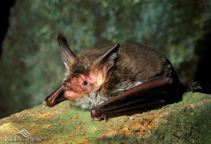 خفاش بکشتاین