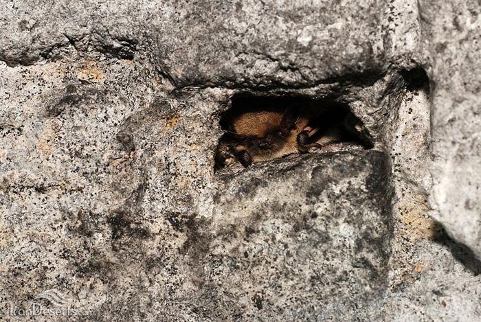 خفاش سبیل دار