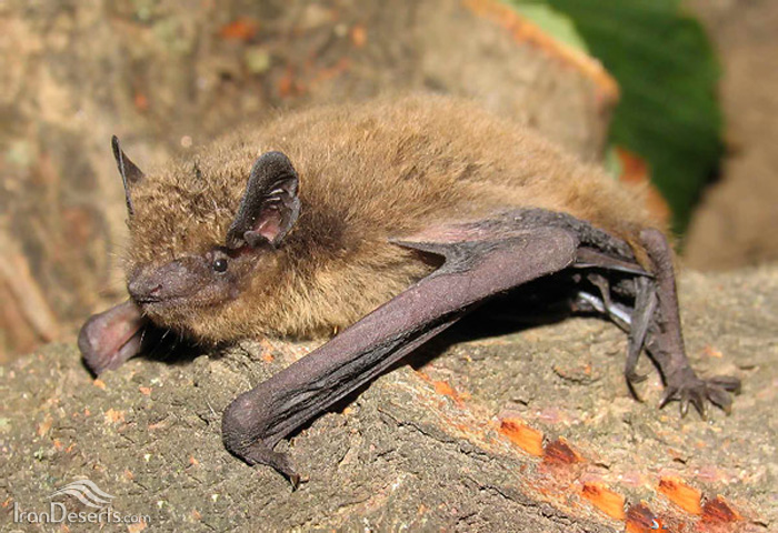 خفاش لبکوتاه (خفاش پیپیسترل)