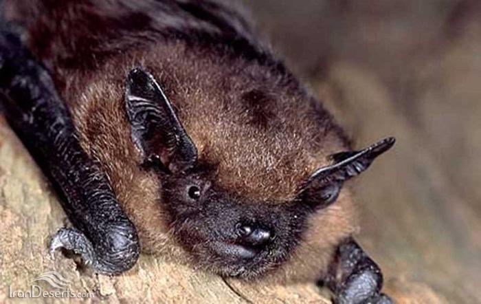 خفاش سروتین