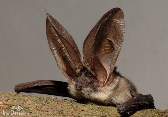 خفاش گوش بلند