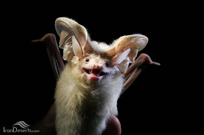 خفاش گوش پیکانی