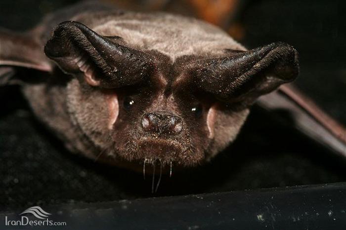 خفاش دم آزاد اروپایی