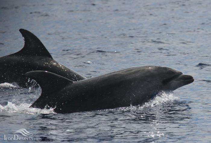 دلفین بینیی بطری معمولی