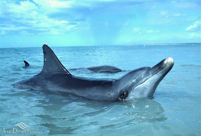 دلفین بینی بطری هندی