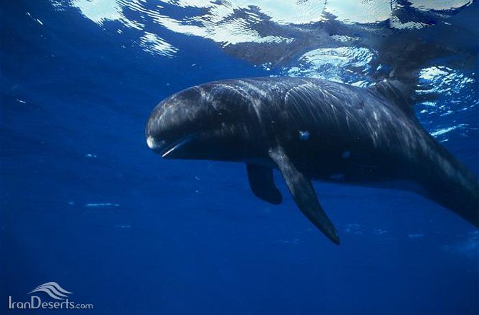 نهنگ قاتل كوتوله