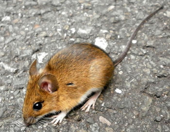 موش صحرایی گردن زرد