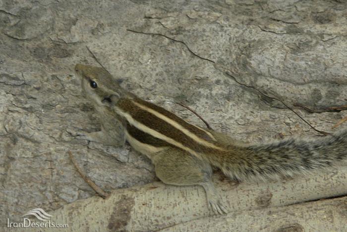 سنجاب بلوچی (سنجاب راه راه، سنجاب نخلی)