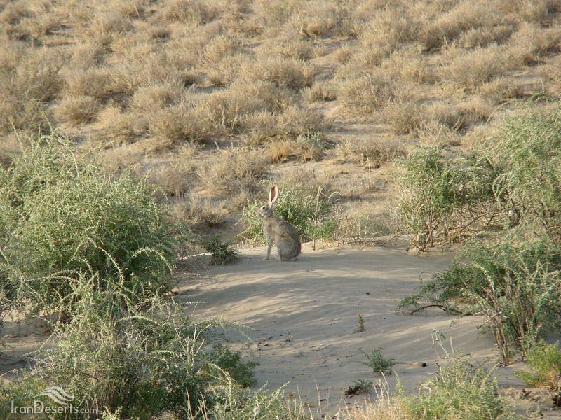 خرگوش شرقی