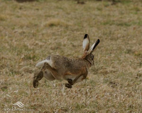 خرگوش غربی
