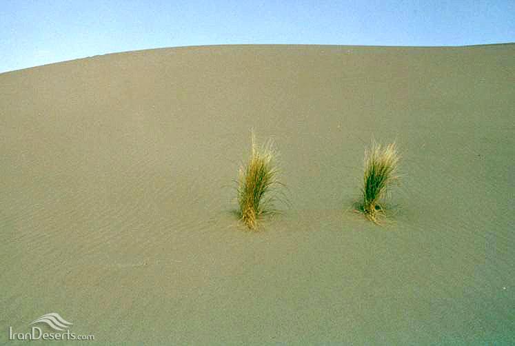 جوامع گیاهی نسی، ریگ صادق آباد، بافق