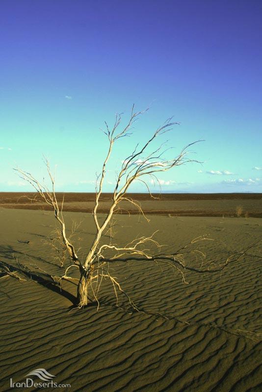 درختچه تاغ، شمال ریگ جن، عکس از محسن ادیب